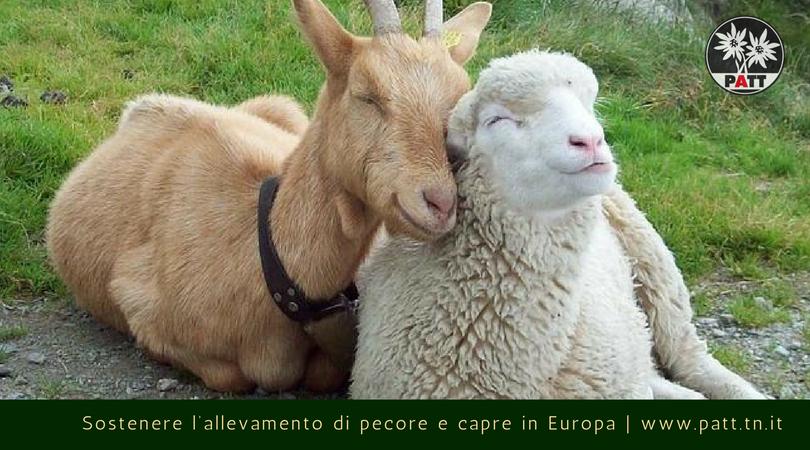 allevamento di pecore e capre